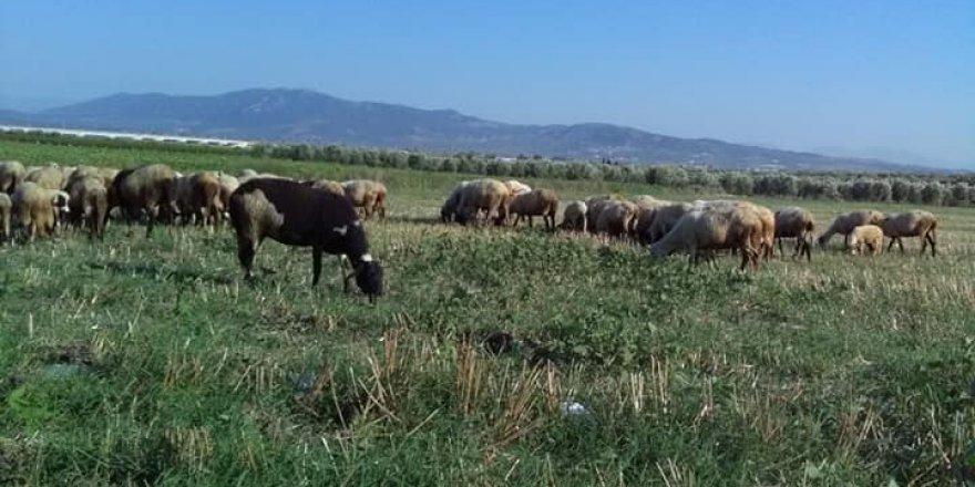 Saruhanlı Koyuncu Köyü Resimleri