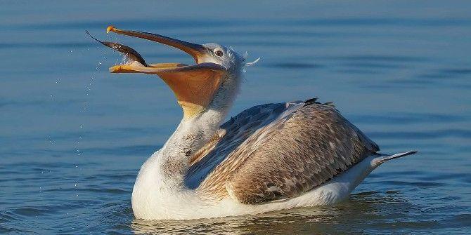 Tepeli Pelikanların Gölyazı'da Taze Balık Keyfi