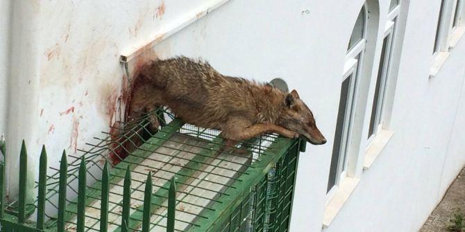 Köpeklerden Kaçan Çakal Cami Klimasının Korkuluğuna Sıkıştı