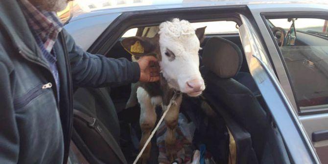 Rahatsızlanan Buzağıyı Veterinere Otomobilinin Arka Koltuğunda Götürdü