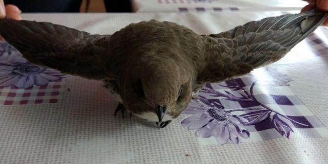 Yalova'da Yaralı Ebabil Kuşu Bulundu