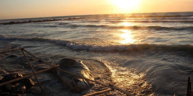 Ölü Balina Arsuz'da Kıyıya Vurdu