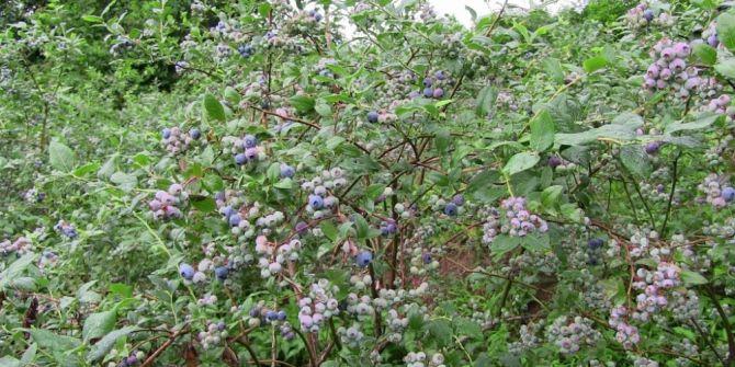 Mavi Yemiş Üretimine Artvin'de Başlandı