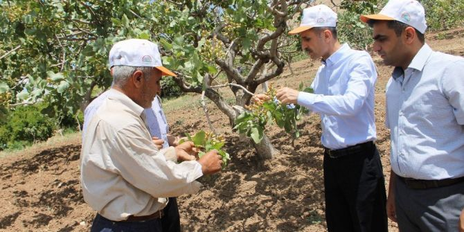 Siirt'te Fıstık Üreticisi Yüksek Rekolte Bekliyor