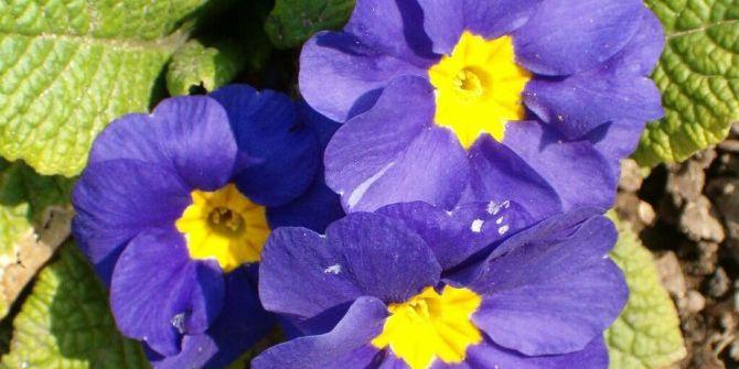 Ms Hastalarına Çuha Çiçeği Tavsiyesi
