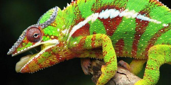 Dünyanın En Renkli Canlısı 'Bukalemun' Adrenalin Dünyası'nda