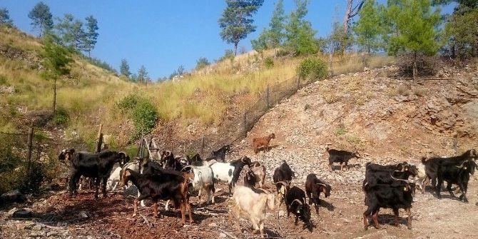 Ormanda Keçilere Arı Tülü Önlem