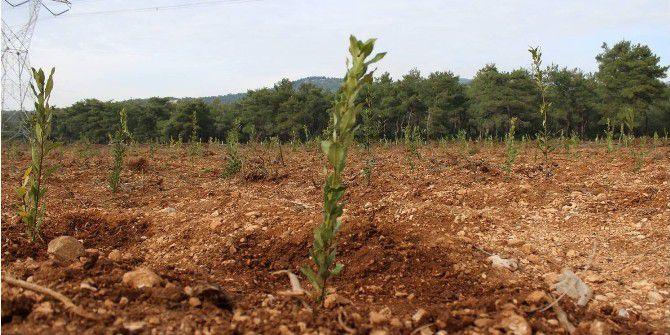 Atıl Durumdaki Bozuk Ormanlar Orman Köylüsüne Gelir Kapısı Oluyor