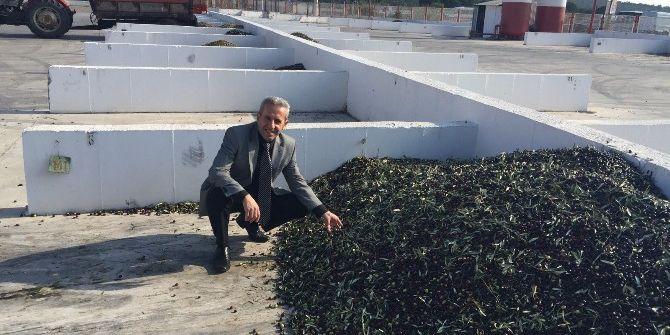 Ayvalık'ta Tariş Zeytin Rekolte Beyannamelerinde Son Başvuru 1 Kasım