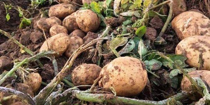 Patateste Yüzde Elli Düşüş Var, Fiyatlar Yükselebilir