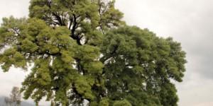 300 Yıllık Anıt Ağaç İçin Kanalizasyon Hattının Güzergahı Değiştirildi, Yüksek Gerilim Hattı Toprak Altına Alındı