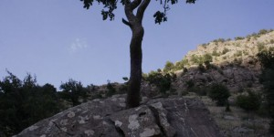 Ağaç, Dev Kayayı İkiye Böldü