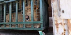 Kraliçenin Baktığı Savaş Mağduru Yaban Hayvanları Bursa'da