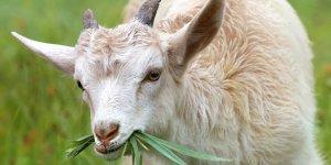 Ankara Keçisi Varlığı Son 10 Yılda İkiye Katlandı