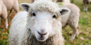 İstanbul'da Küçükbaş Hayvan Sayısında Rekor Artış