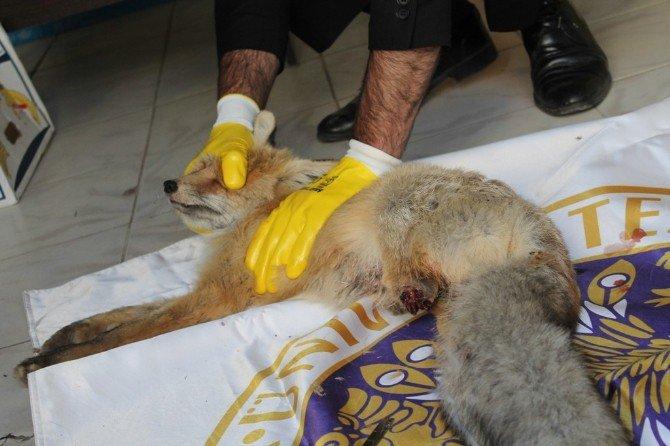 Demir Tele Takılan Tilki Yaralandı