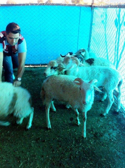 Koyun Hırsızları Jandarmadan Kaçamadı