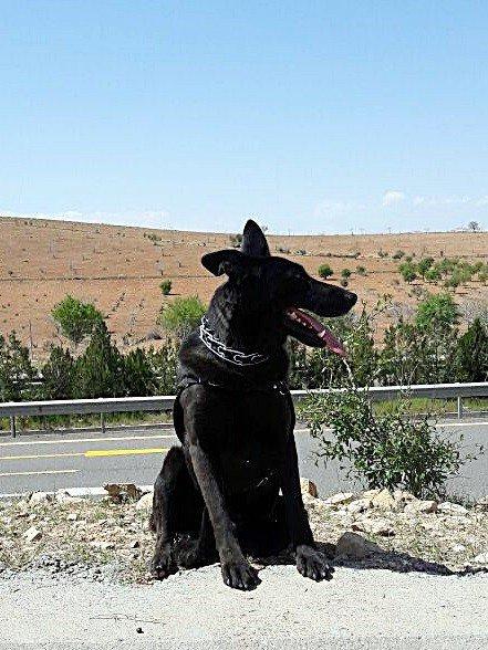 """Bomba Arama Köpeği """"Gece"""" Türkiye Birincisi Oldu"""