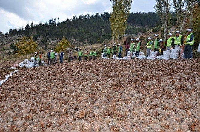Sedir Tohumları Toprakla Buluşmaya Hazırlanıyor
