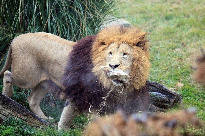 Zoopark'taki Aslanların Nefes Kesen Kış İdmanı...