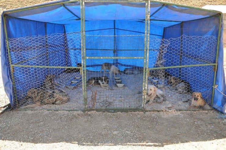 Yüksekova'da başıboş sokak köpekleri kısırlaştırılıyor