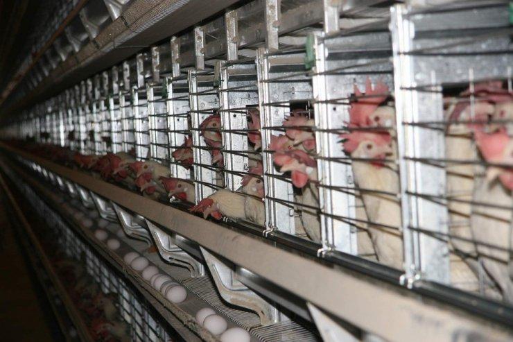 Kuzey Irak'a yumurta ihracatı