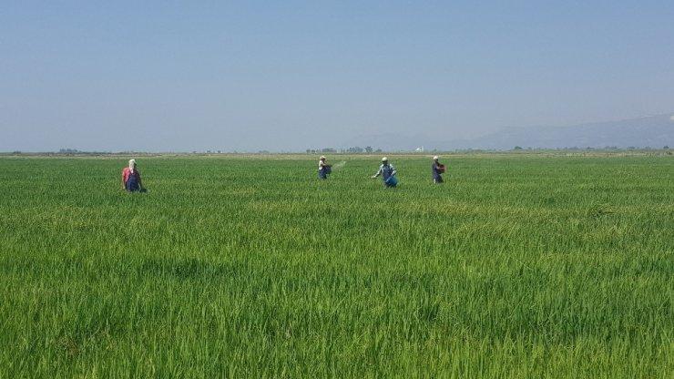 Mahkumların ürettiği 14 ton pirinç satışa sunuldu