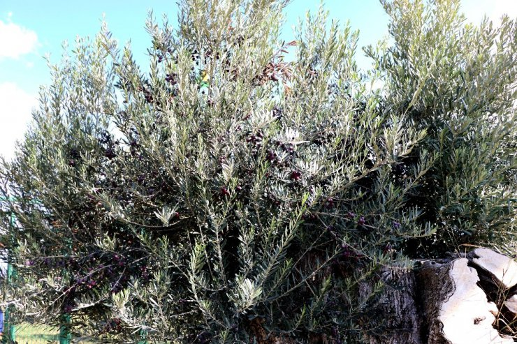 800 yıllık zeytin ağacından ilk hasat yapıldı