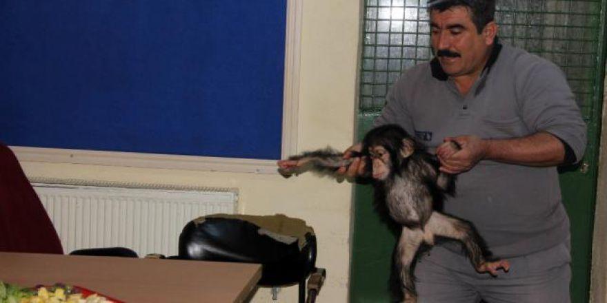 Annesinin bakmadığı minik şempanzeye özel bakım